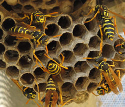 Dangerous Wasp Nest - San Jose Pest Control